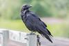 Raven sitting on railing post on railway bridge in Moosonee.