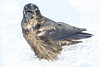 Raven on a cold morning on the snow. Feathers spread. Part of head out of focus.
