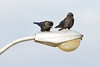 Two crows on a street light.
