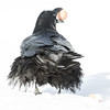Raven from behind holding an egg in its beak.