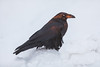 Raven standing on snow bank at sunrise. Nictating membrane over eye.