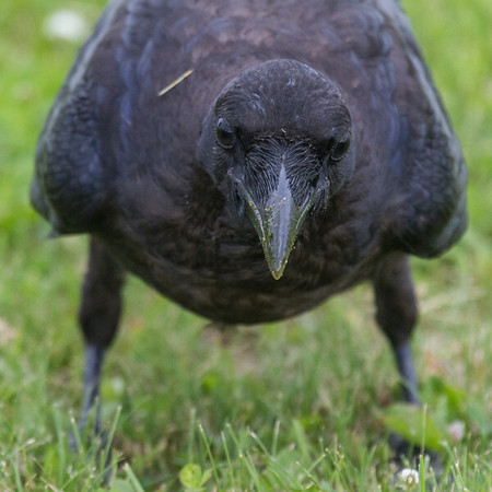 View from straight ahead of juvenile raven while eating egg. Note egg yolk on beak. Body mostly out of focus.