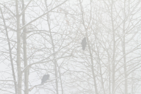 Two Common Ravens in trees on a snowy day.<br /> Shot through screen door.