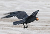 Raven flying off with an egg in the rain.