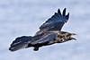 Raven in flight, side view, wings outstretched, beak open.