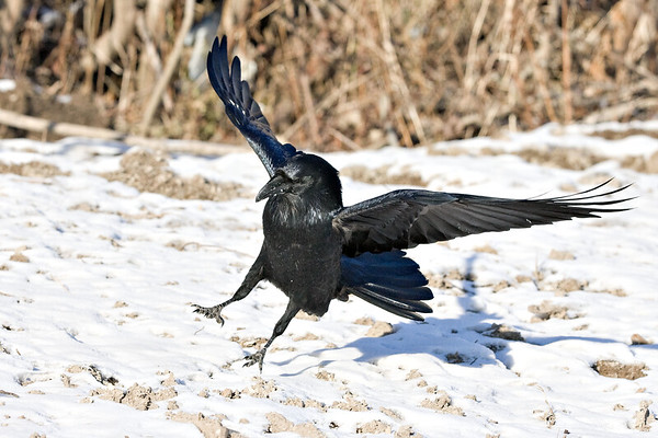 Raven about to land on snow, bird angled to ground, wings out, bushes in background.