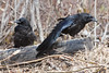 Two juvenile ravens