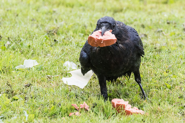 On a rainy day, a raven cuts up a piece of bologna.
