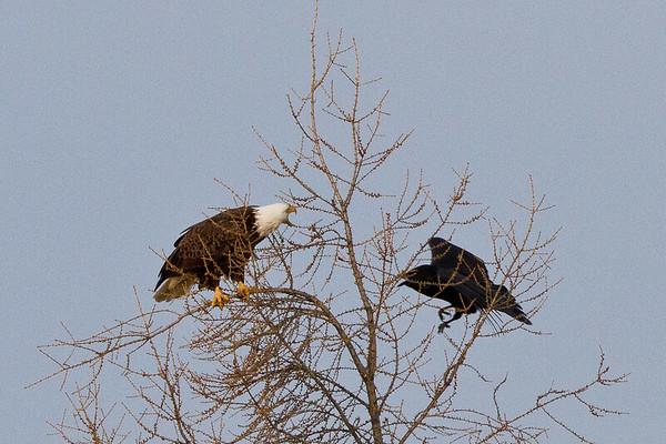 Raven flying towards bald eagle in tree