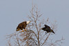Raven flying towards bald eagle in tree