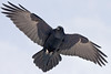 Raven overhead, one wing fully extended, other wing slightly bent