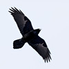 Raven in flight, overhead, wings outstretched - Return of the King effect