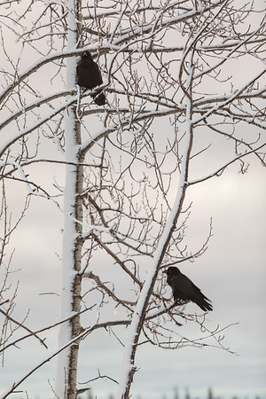 Two ravens in a tree coated on one side with snow.