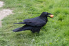 Raven with an egg in its beak. Nictating membrane over eye. Adult bird, note black mouth.