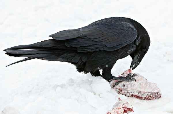 Raven eating meat on snow, snow falling, holding meat with feet