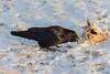 Raven enjoying Christmas turkey.