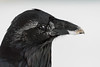Headshot of raven with frost on feathers, snow and egg yolk on beak.