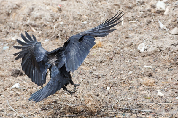 Raven about to land. View from behind bird.