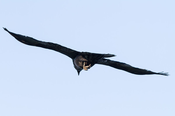 Raven in flight. View from behind. Wings out straight.