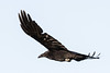 Raven in flight, from behind and side, one wing outstretched.