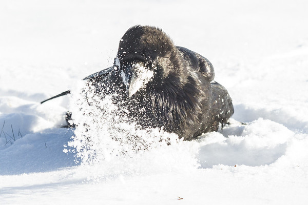Raven bathing in the snow.