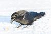 Raven on the snow.