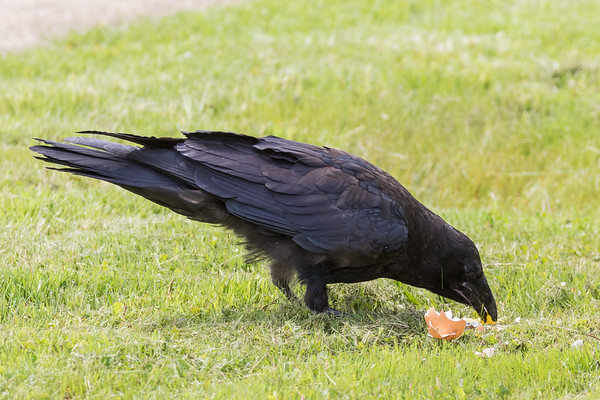 Juvenile raven eating egg left by adult.