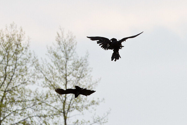 Crow and raven interaction.
