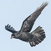 Raven in flight, both wings up, far wing not in focus. 2007 December 12th. Reprocessed 2017 December 12th.