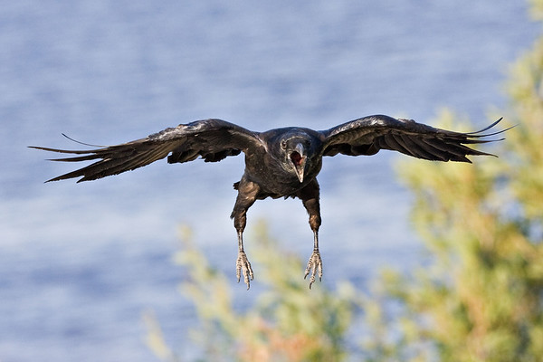 Raven coming in to land, feet down, beak open, wings outstretched.