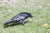 Raven eating grapes on grass.