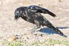 Raven jumping near ground near two brown eggs. Ravens are suspicious and often engage in jumping or other rapid movement behaviour around potential food to determine its status.