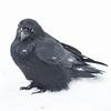 Raven in falling snow 2014 November 9