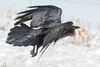 Raven flying away with meat in its beak.