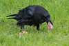 Adult raven with a piece of meat in its beak.