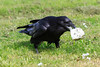 Raven carting off a chunk of lard.