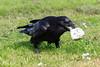 Raven carting off a chunk of lard.
