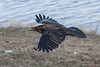 Raven in flight, wings out, sunlight on top of bird.