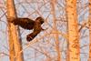 Raven landing on a branch, at dawn.