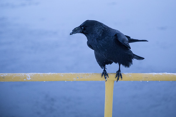 Raven on railing at public dock site. 2016 December 3rd. Snow on beak probably from caching food in the snow.