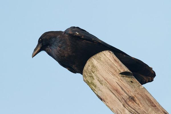 Raven on utility pole.