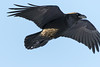 Raven in flight, wings bent, one wing tip out of frame.