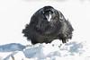 Raven enjoying lard. Nictating membrane closd over eye.