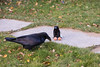 Interaction between raven and toy bird on the ground near eggs. Raven treats toy warily and sometimes uses displacement activities such as plucking grass to pretend not interested in the eggs.