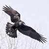 Raven turning in flight