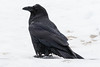 Raven at the doorway. Snow on beak.