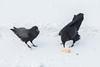 Two ravens not sharing a broken egg. Nictating membrane over one eye.