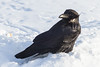 Raven on the snow.