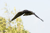 Raven in flight, wings bent down, feet partially uncurled.