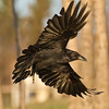 Raven in flight, wings outstretched, banking